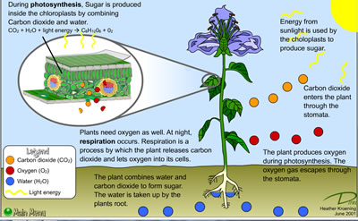 an overview of photosynthesis the nature of light